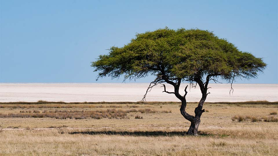 single tree in the desert in country of origin Namibia